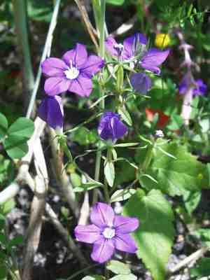 Im Tausch kann ich anbieten Jungpflanzen von Adonis aestivalis oder ...