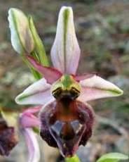 Ophrys-elegans