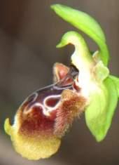 Ophrys-flavomarginata