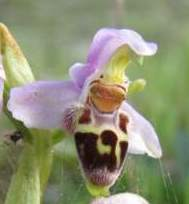 Ophrys-lapethica