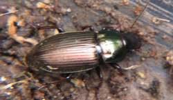 Behaarter Schnelllaeufer - Pseudoophonus rufipes