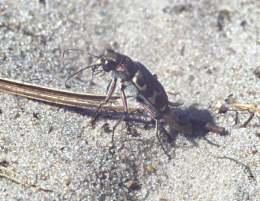 Küsten-andläufer (cicindela maritima) oder Dünen-Laufkäfer (Cicindela hybrida)