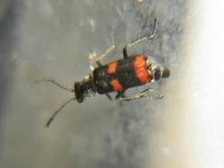 Gebaenderter-Warzenkaefer-Anthocomus-fasciatus-2.JPG