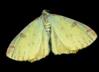 Gelbspanner-(Opisthograptis-luteolata).jpg