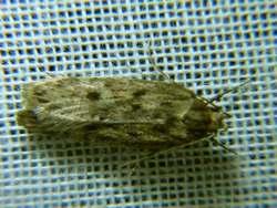 Hofmannophila-pseudospretella-Samenmotte.JPG