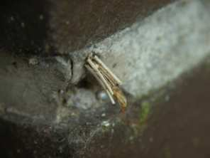 Trachea-atriplicis-Meldeneule-5.JPG