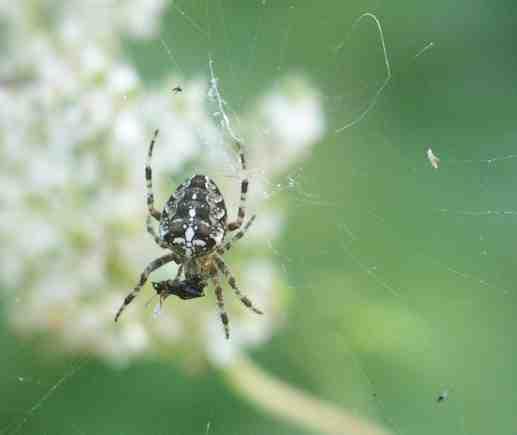 Spinnen Im Garten: Pachizefalos.de, Fotos, Spinnen