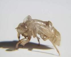 Cicaden-Exuvie