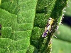 eupteryx-aurata
